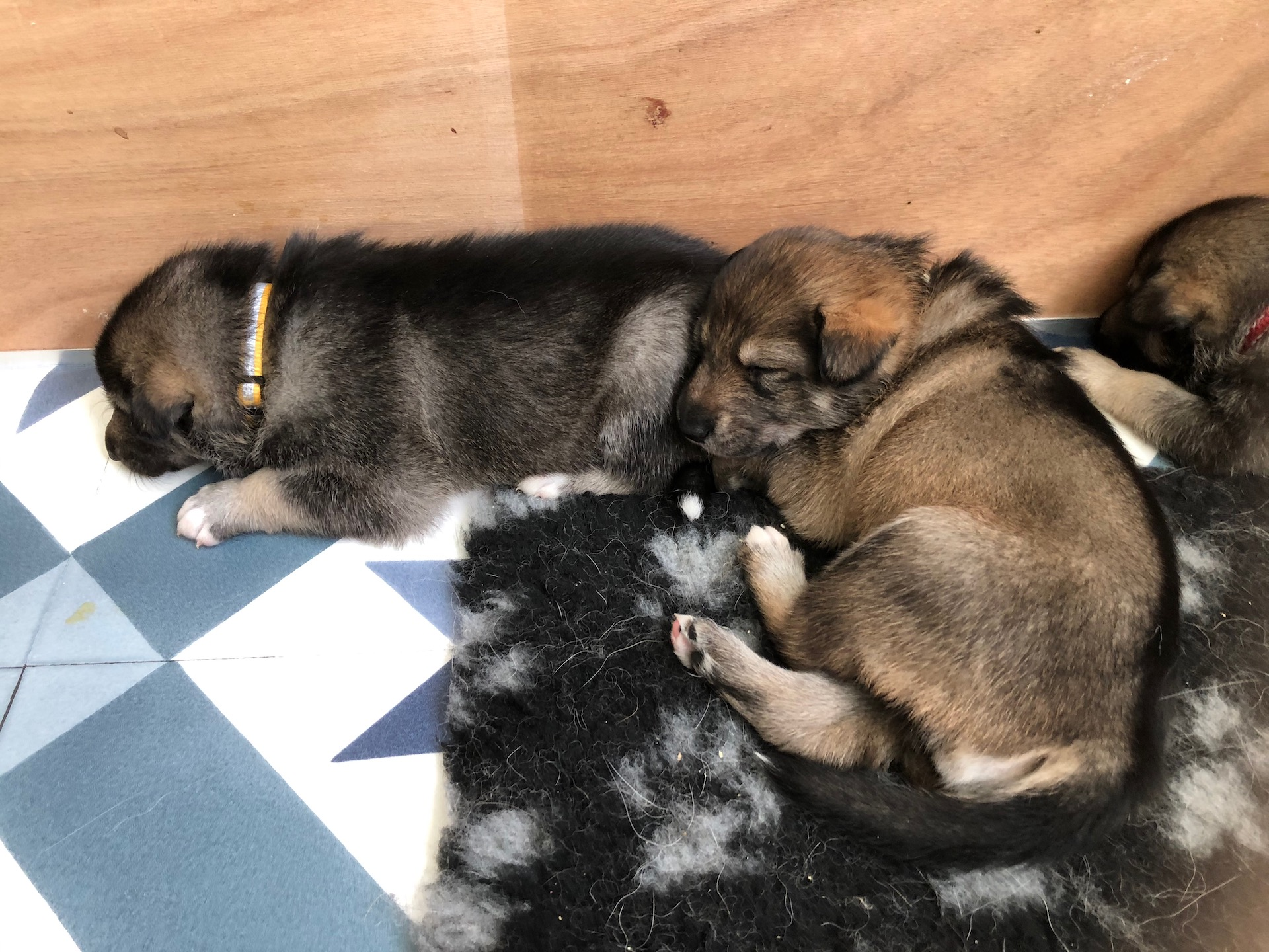 Pups sleeping 3wk